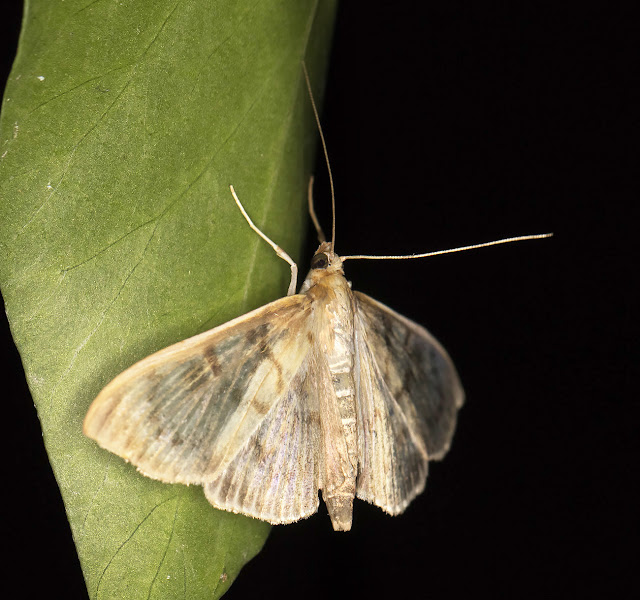 Mother of Pearl, Pleuroptya ruralis.  Kelsey Park, 28 August 2015.