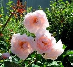 Роза 'New Dawn'