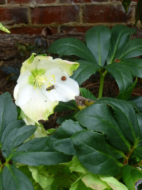Pollinators on hellebore flower