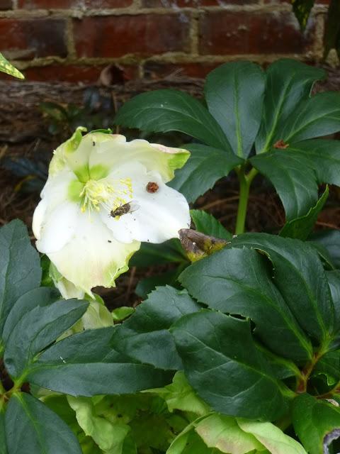 Pollinators on hellebore flower