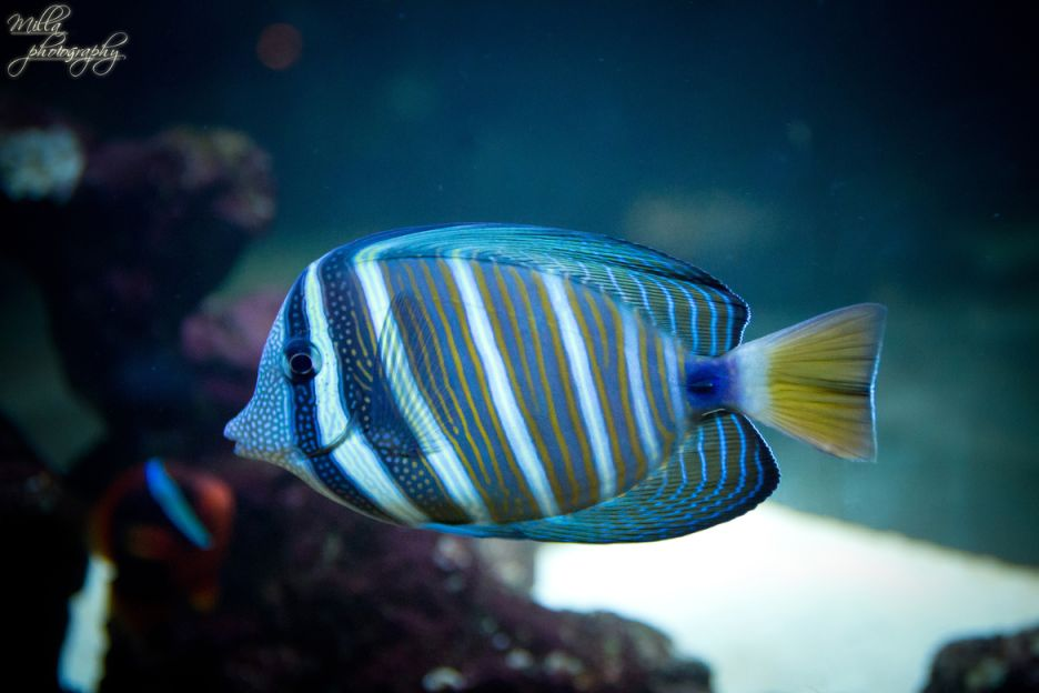 12. Photograph angelfish 2 by Milla V