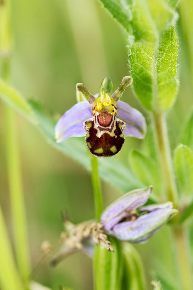 Bee Orchid (Shot with Canon EOS 70D)