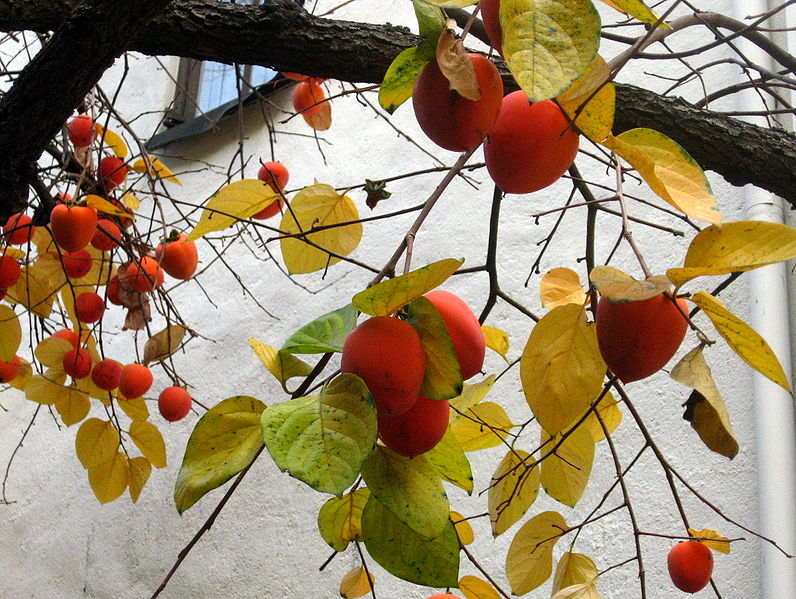 Mystic Korea Persimmon And Its Significance Among The Korean And