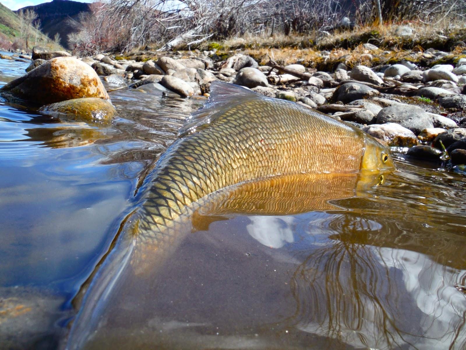 Erik s fly fishing blog for Boise river fishing
