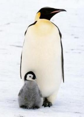 Pingüino hembra con su bebé