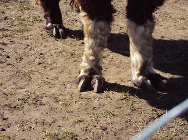 Alpaca 'Toes'