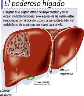 Procesar t cnicas de valoraci n del metabolismo anatomia for En k parte del cuerpo esta el higado