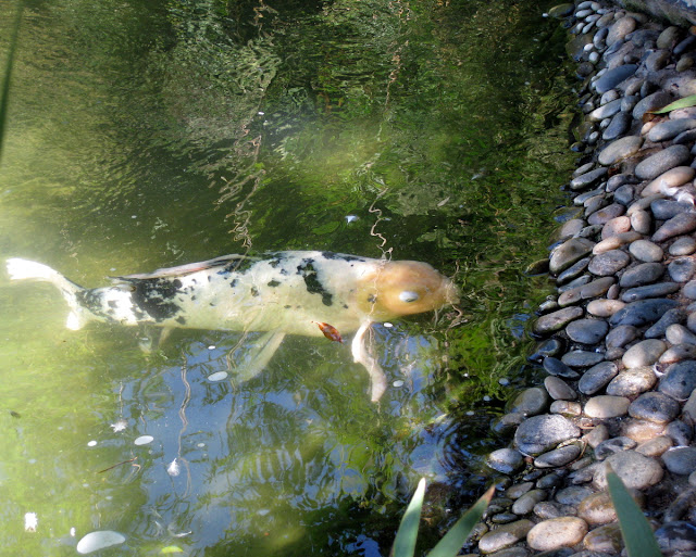 murrieta 365 koi