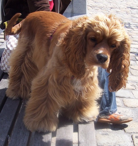 cocker spaniel light brown and white