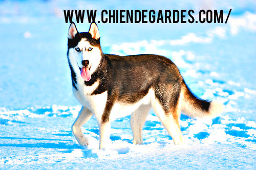 caractere chien husky