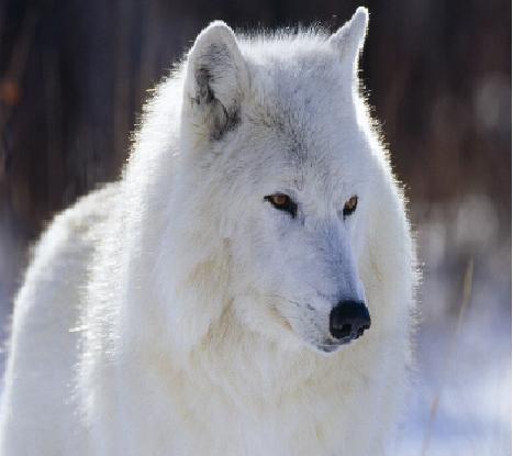 Белый волк - символ добра, Подсознание, Сны, Как изменить образ жизни, работа подсознания во сне, Подсознательные сны
