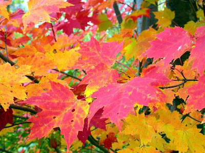 close up of brightly colored fallen maple leaves