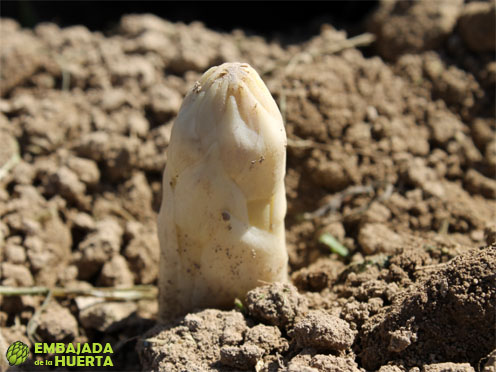 III Cata del Primer Esparrago de Navarra - Andosilla 2013