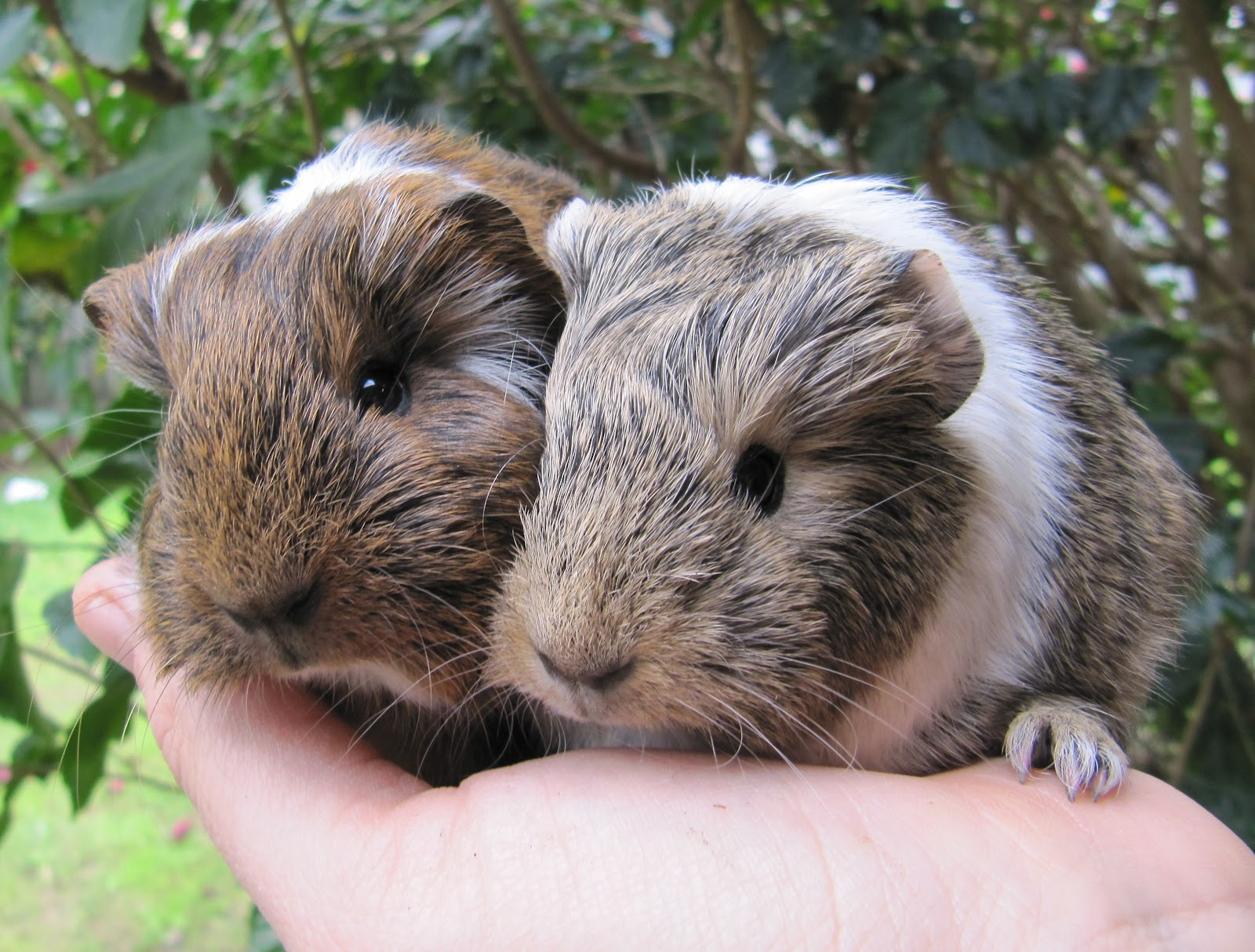 All Things Guinea Pig: Genetics