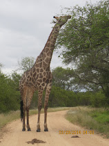 Giraffe dining on acacia tree, west of Skukuza Camp, Kruger Nat'l Park, South Africa