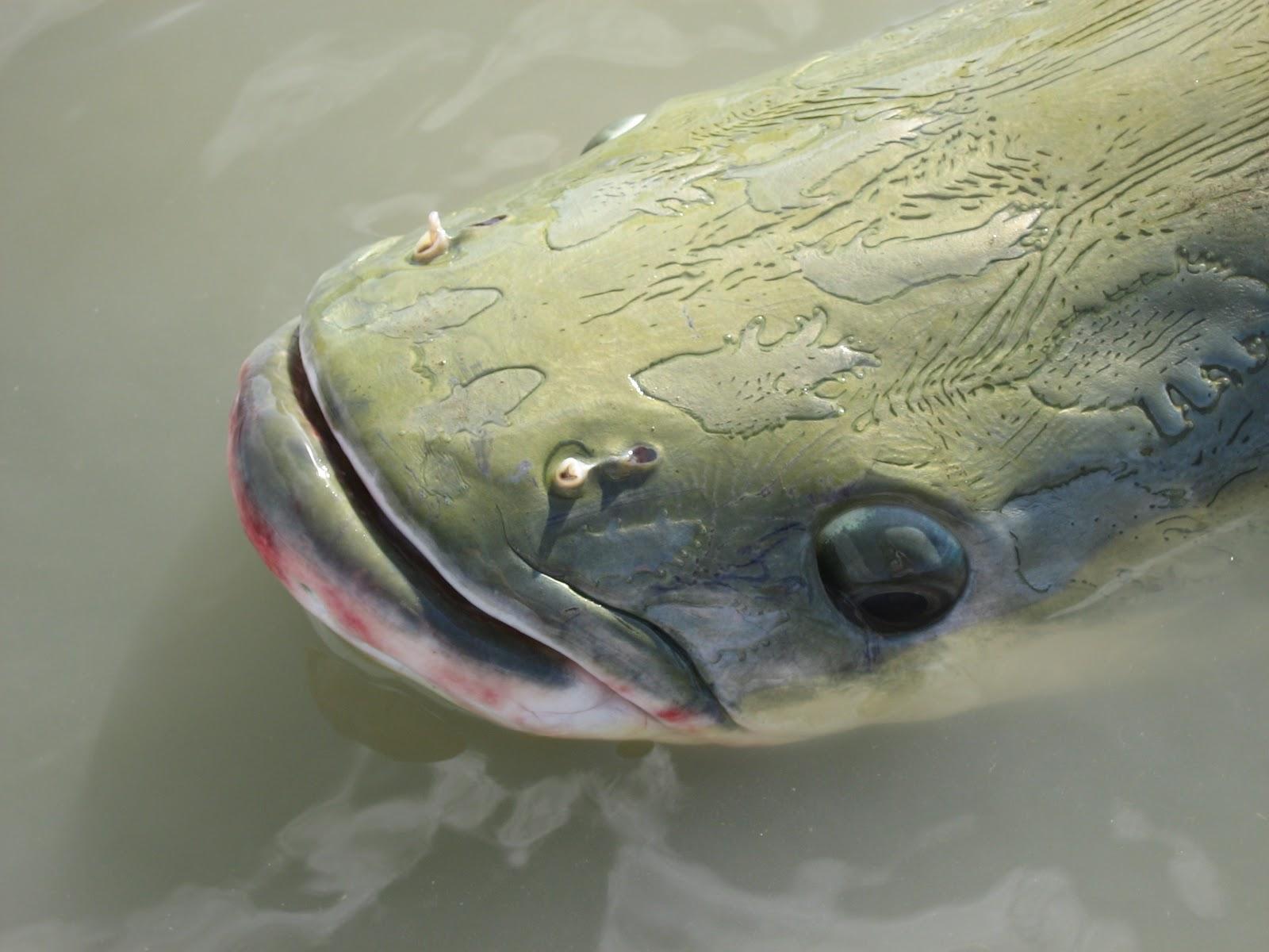 Pesca intorno al mondo leviatani d 39 acqua dolce for Pesci acqua dolce commestibili