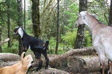 Got Goats