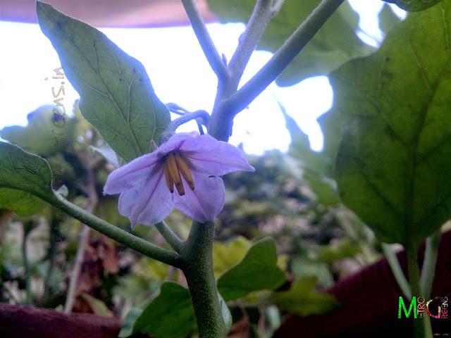 Metro Greens: An Eggplant bloom