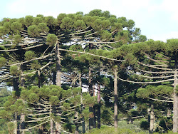 Floresta de Araucárias