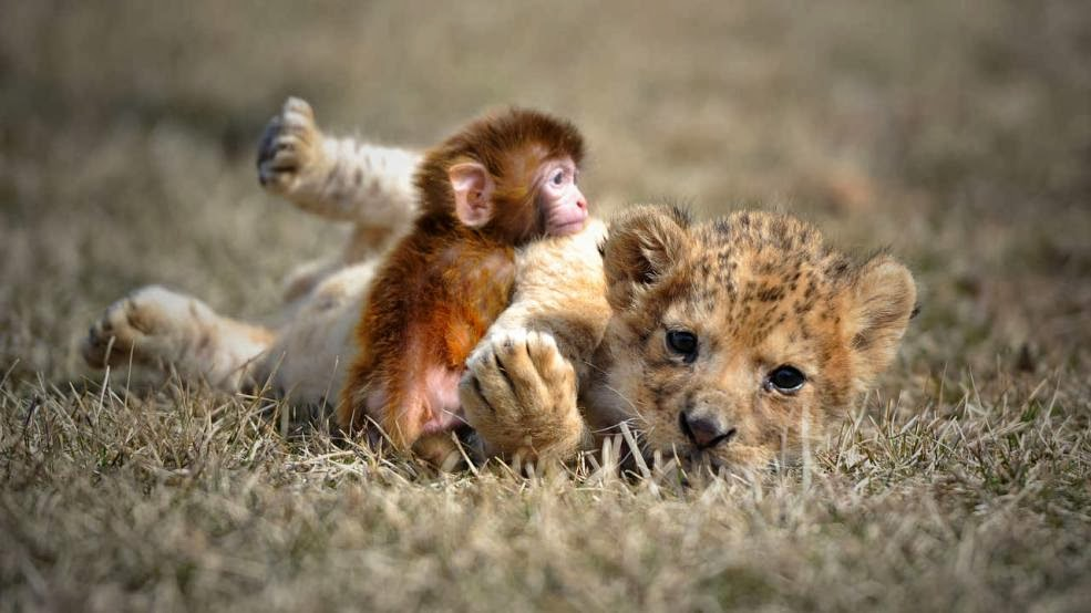 Funny animals of the week - 7 February 2014 (40 pics), baby monkey and lion cub playing