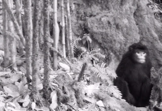 Mono de hocico chato de Myanmar