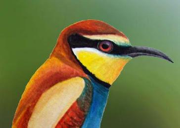 ŻOŁNA ( Merops apiaster )
