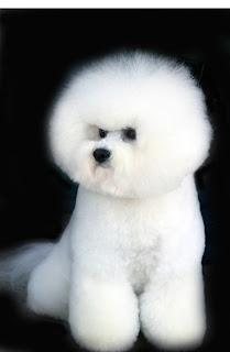 bichon frise dog puppy breeds hound chien hund perro canine animals domestics maskotak pets Haustiere huisdieren animaux de compagnie husdjur info