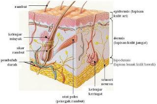 bagian bagian kulit