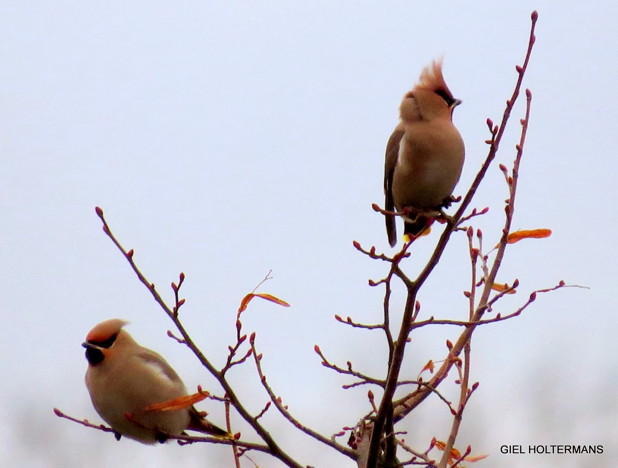 Natuurlijk vogelgielke: WML PLAS HEEL ( LIMBURG )