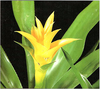 Нидуляриум бильбергиевидный лимонно-желтый