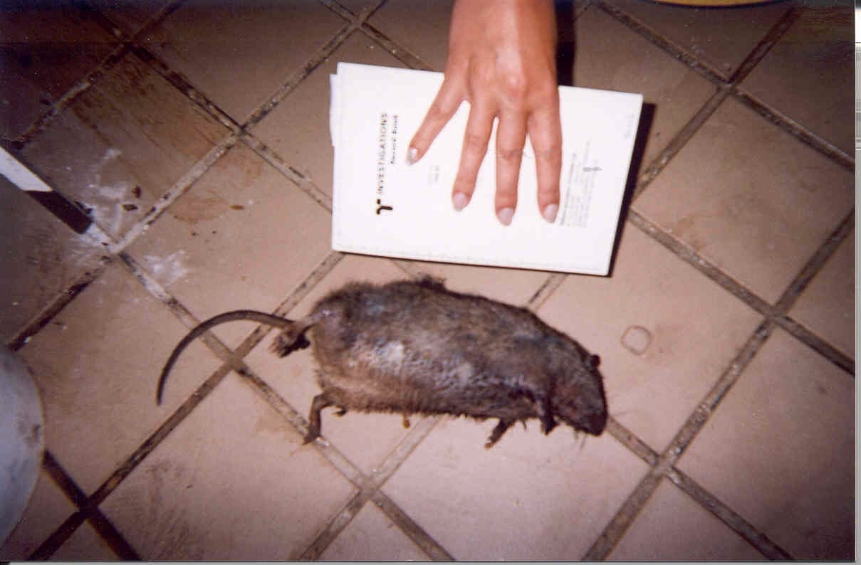Health Inspector\'s Notebook: Rats in the city