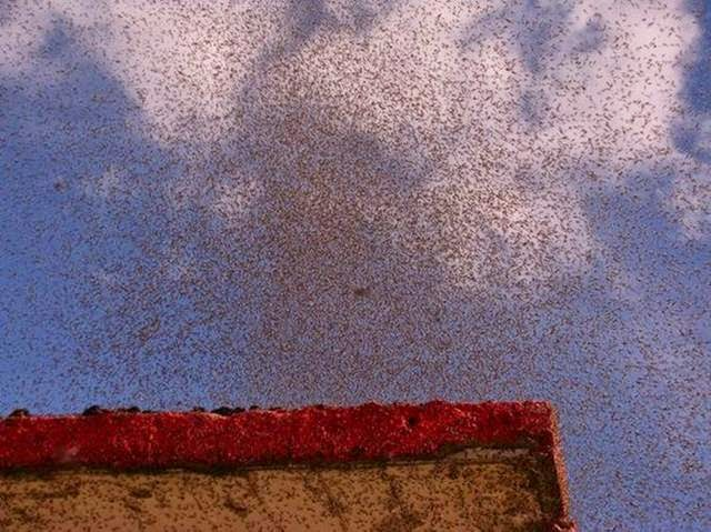 The Cloud of Mosquitoes
