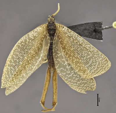 http://sciencythoughts.blogspot.co.uk/2013/12/a-new-species-of-earwigfly-from-brazil.html
