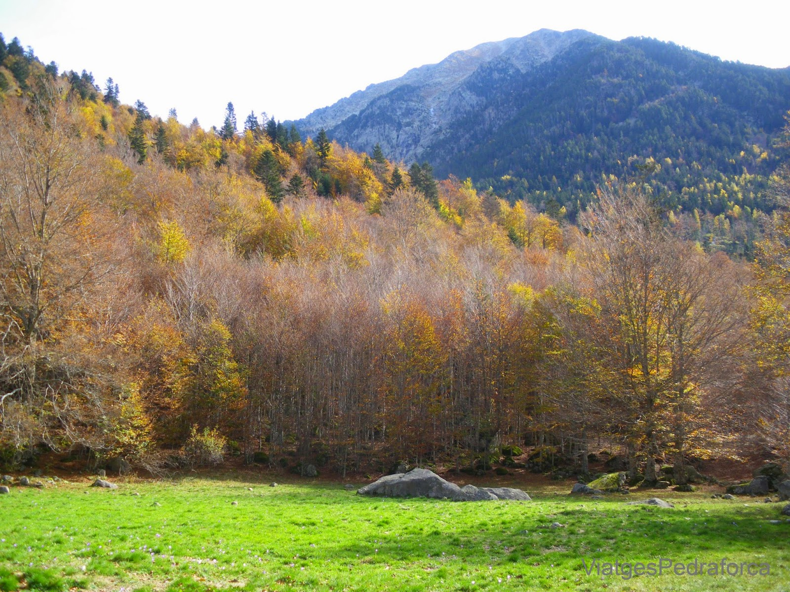 Bosc de Conangles a la tardor Fageda Val d'Aran Pirineu de Lleida