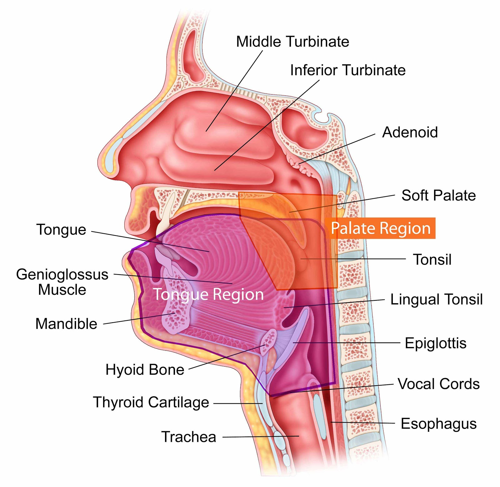 Diagram Of The Mouth And Throat 114