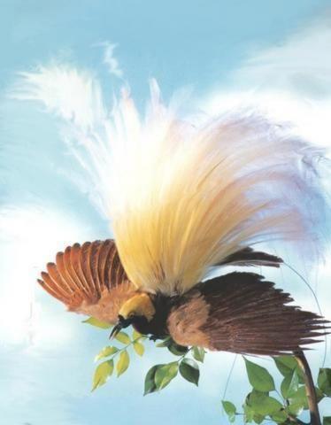 foto burung cendrawasih - gambar hewan