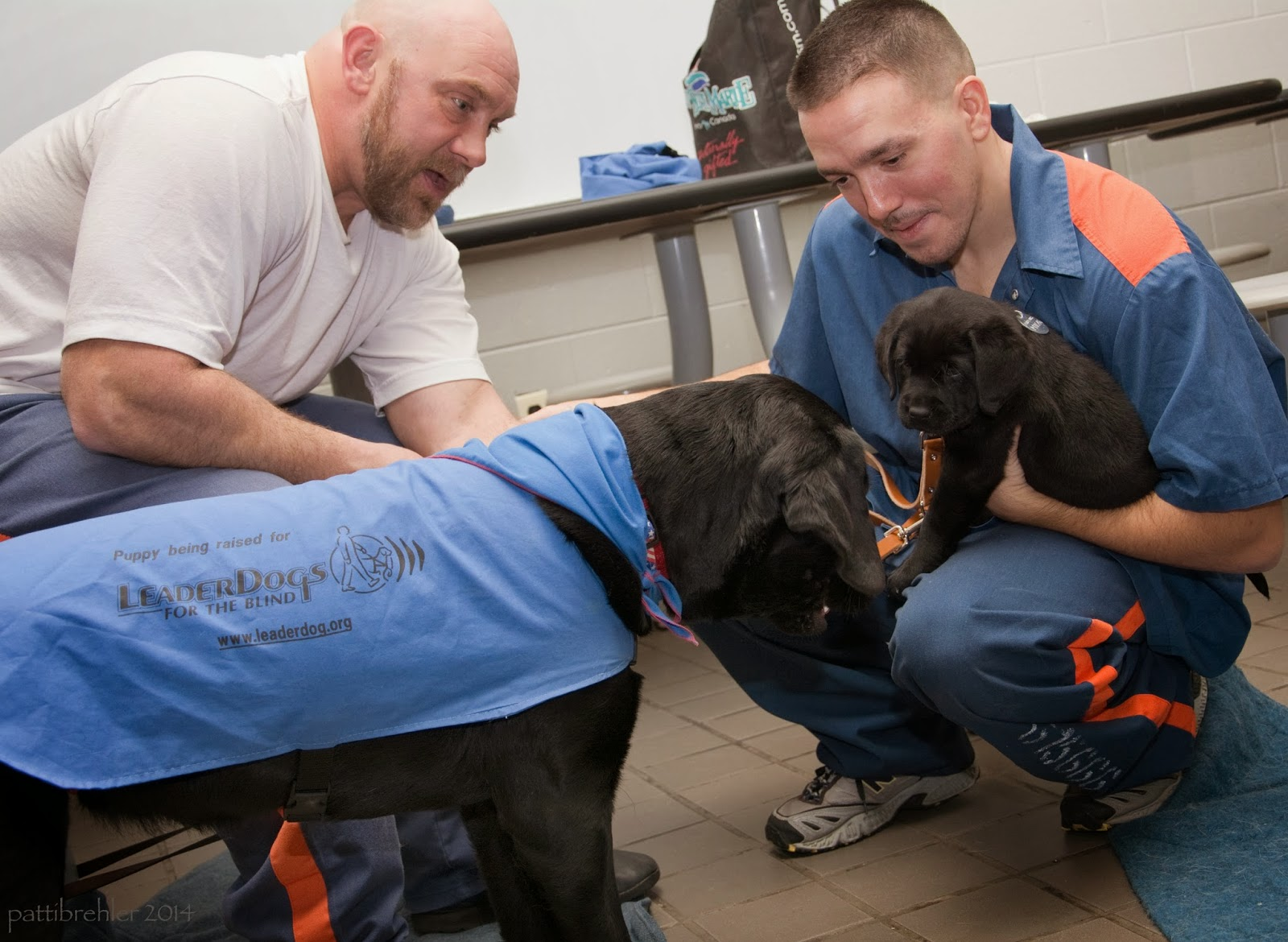 An almost adult black lab wearing a  baby blue leader dogs for the blind working jacket is standing and facing to the right, nosing a small  black lab puppy that is being held by a young man who is squatting down. The man is wearing the pirson blue shirt and pants with the orange stripes on the shoulders and legs. The man is looking at the puppies. Another man is sitting on a table stool behind the larger puppy. He is wearing a white t-shirt and blue pants. He is bald with a short beard. His elbow are on his knees and he is looking at the littler pup. A lunch table is in the background with a bag on it.