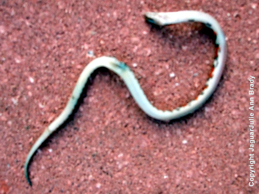 Florida Scarlet Snake aka Cemophora coccinea