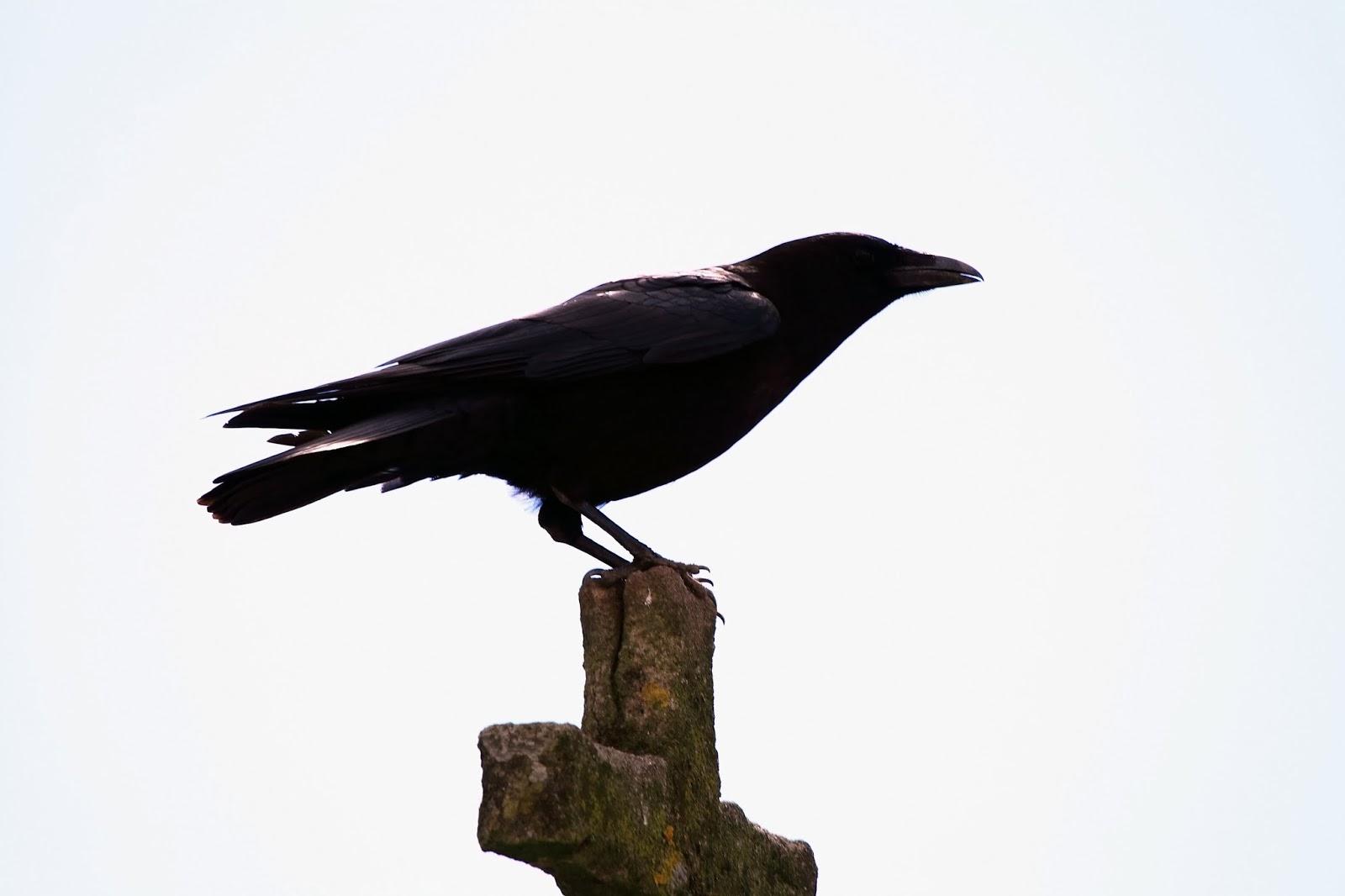 El cuervo errante