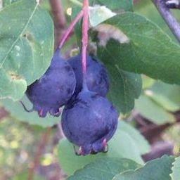 wild service berries