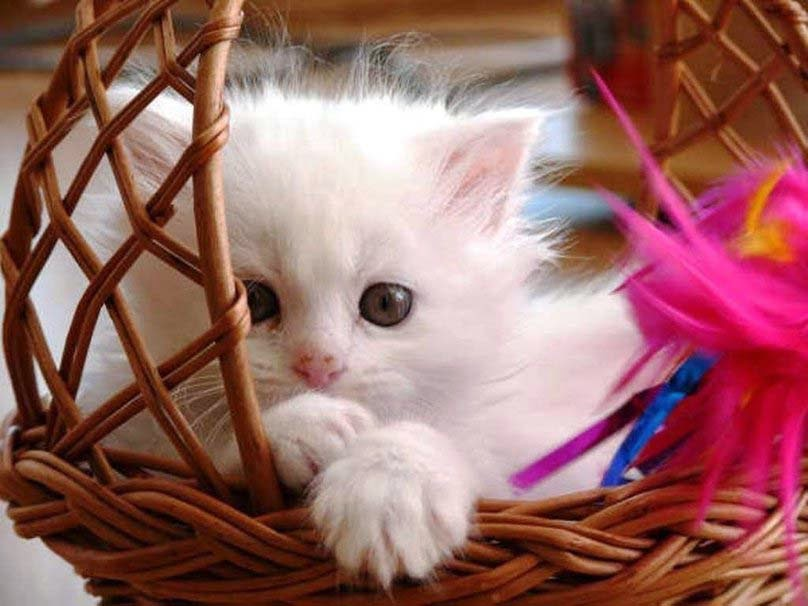 sweet-baby-cat-hd-picture