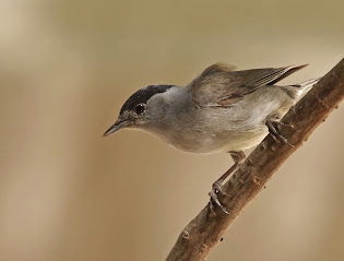 Black cap- male