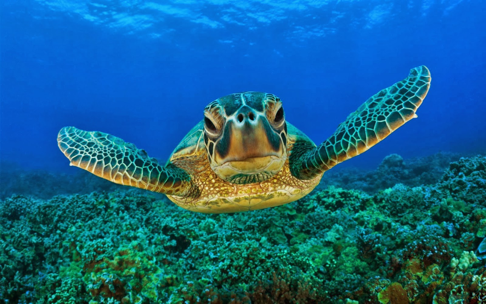 Hawksbill sea turtle ~ Animals World