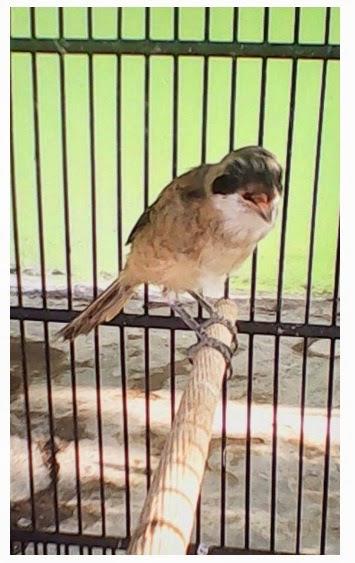 pentet gacor, jual burung pentet,perawatan pentet