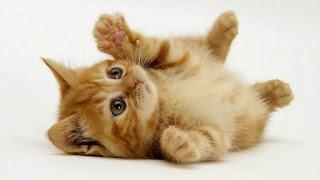 Gambar Wallpaper Kucing Lucu