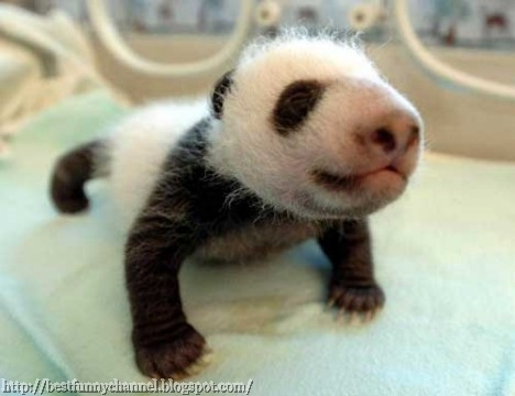 Cute Little Panda.