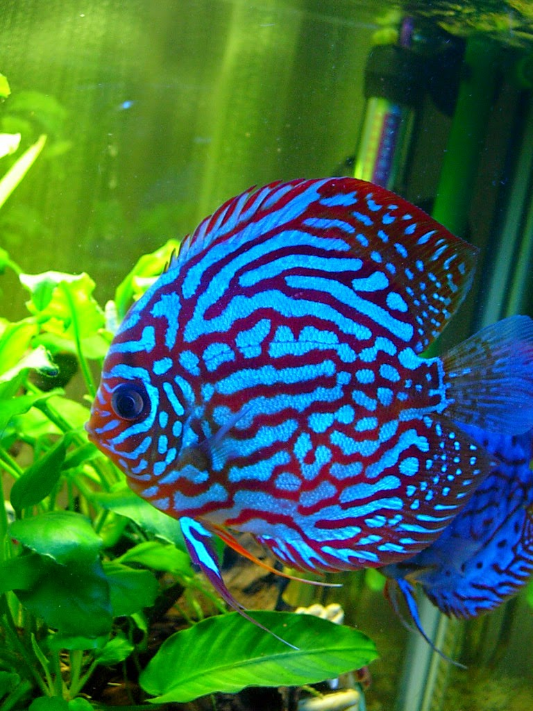 Freshwater aquarium fish in south africa - Electric Blue Jack Dempsey Fish Google Search Aquariums Fish Pinterest Cichlids Jack O Connell And Hiding Spots