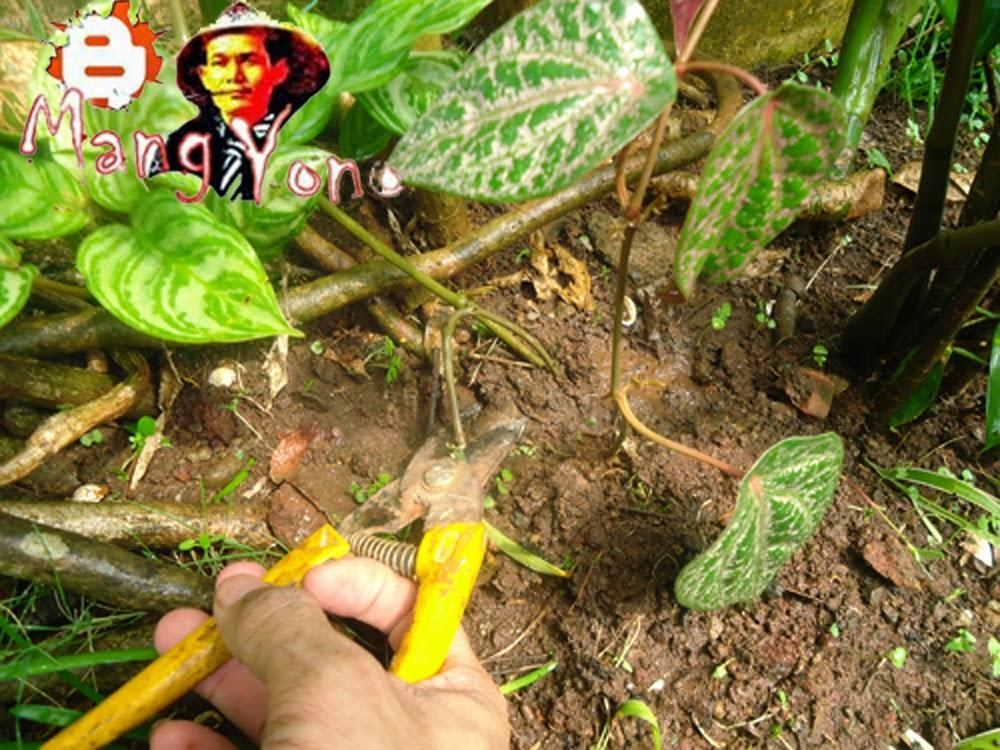 Gb. 1. Menggunting batang sirih merah dari batang indukan