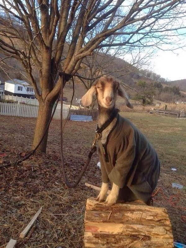 Funny animals of the week - 31 January 2014 (40 pics), goat wears sweater being tied on a tree
