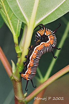 Caterpillar of Common Indian Crow Butterfly